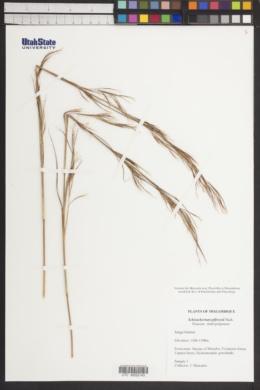 Image of Schizachyrium jeffreysii