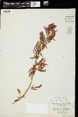 Image of Desmanthus acuminatus