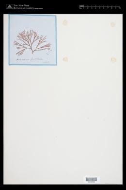 Halymenia furcellata image