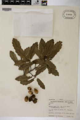 Quercus laeta image