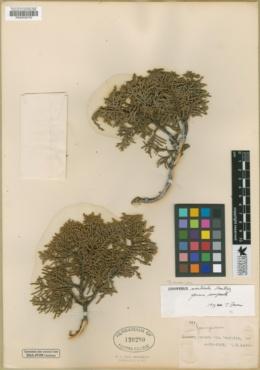 Juniperus monticola image