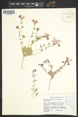 Eremothera boothii subsp. intermedia image