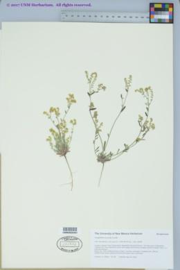 Cryptantha recurvata image