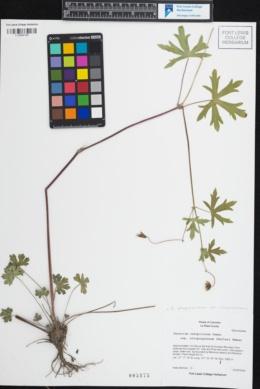 Geranium atropurpureum var. atropurpureum image