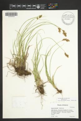 Carex wootonii image