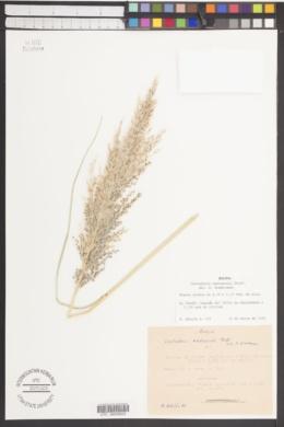 Cortaderia rudiuscula image