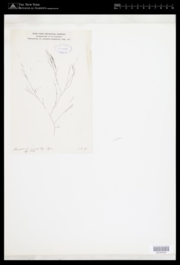 Image of Polysiphonia juncea