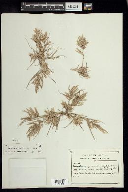 Image of Eragrostis maypurensis