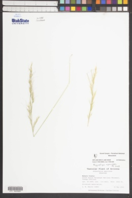 Pappostipa speciosa image