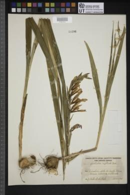 Gladiolus segetum image