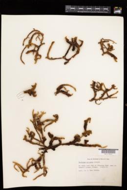 Kappaphycus striatus image