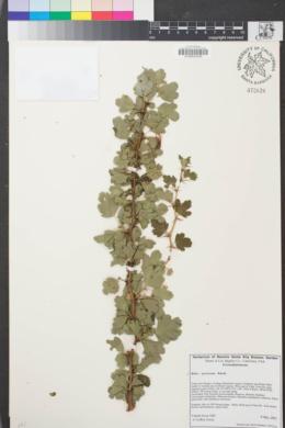 Image of Ribes speciosum
