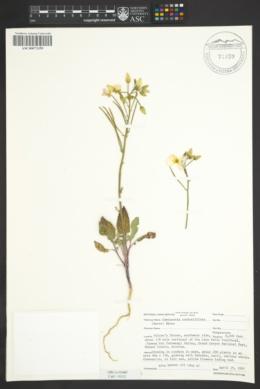 Image of Camissonia confertiflora