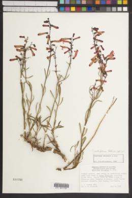 Penstemon rostriflorus image