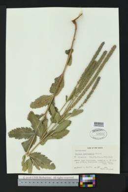 Verbena macdougalii image