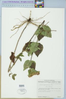 Stevia amblyolepis image
