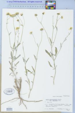 Bahia absinthifolia var. dealbata image