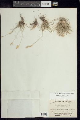 Erioneuron avenaceum image