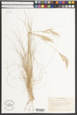 Image of Danthonia tenuifolia