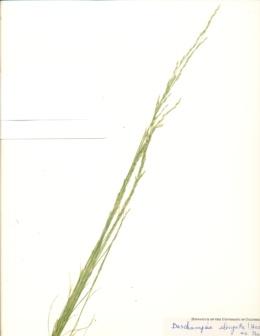 Deschampsia elongata image