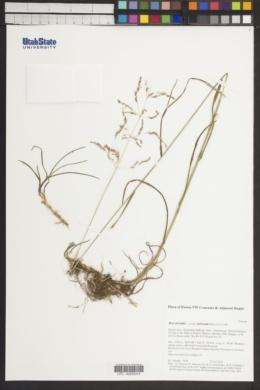 Poa trivialis subsp. sylvicola image