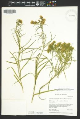 Flaveria mcdougallii image