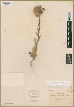 Phacelia utahensis image