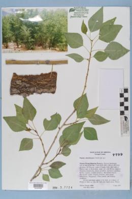 Image of Populus hinckleyana
