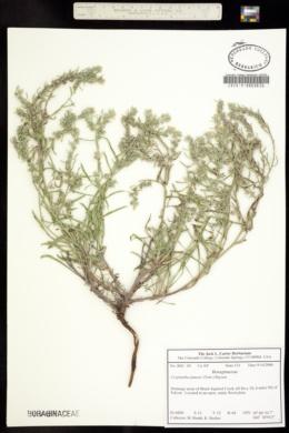 Oreocarya suffruticosa image