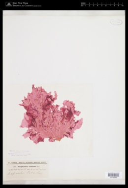 Polyneura venosa image