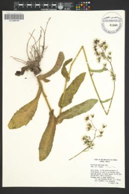 Hieracium abscissum image