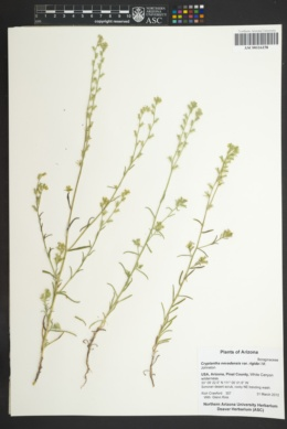Image of Cryptantha juniperensis