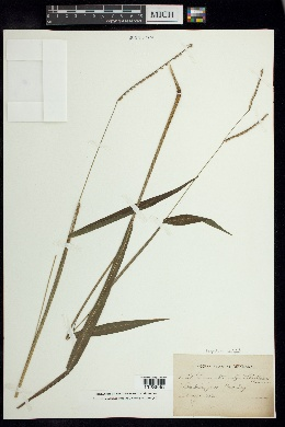 Image of Paspalum variabile
