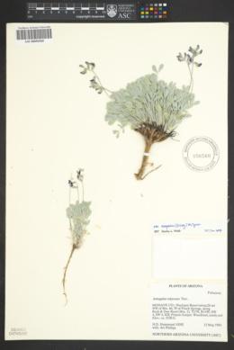 Astragalus calycosus var. scaposus image