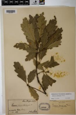 Quercus pubescens image
