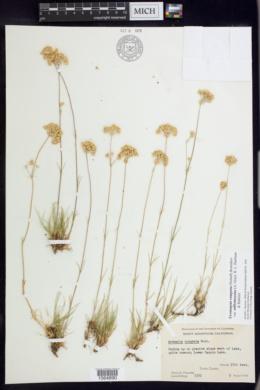 Eremogone congesta var. suffrutescens image