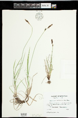Image of Carex idahoa