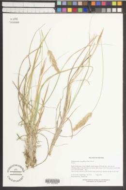 Calamagrostis sesquiflora image
