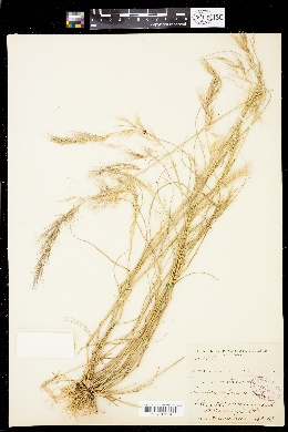 Image of Aristida depressa
