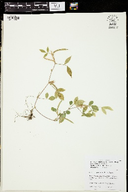 Image of Centrosema pascuorum