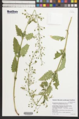 Image of Scrophularia desertorum