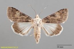 Melipotis novanda image