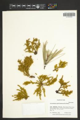 Arceuthobium gillii image