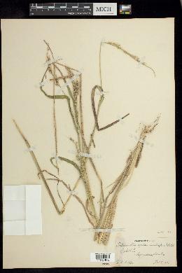 Echinochloa oplismenoides image
