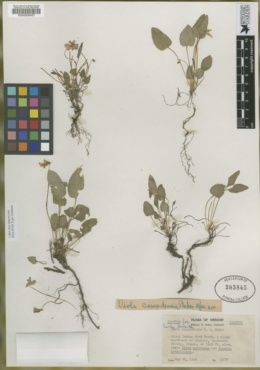 Image of Viola cascadensis