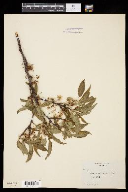 Image of Prunus hortulana