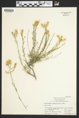 Lorandersonia baileyi image