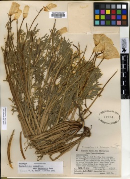 Eschscholzia lemmonii subsp. kernensis image