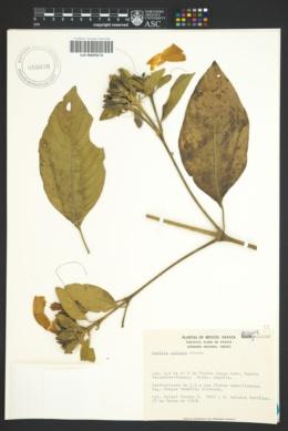 Image of Ruellia palmeri