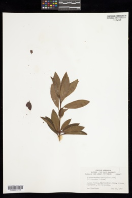 Image of Rhododendron myrtifolium